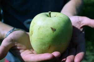 The apple crops at Wagner's Orchards in Windsor might yield less apples this year, but the apples are definitely larger. Photo by Angelica Haggert.