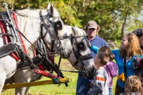 Get up close with horses at county harvest festival