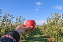 Heat wave causing orchards to produce abundance of apples