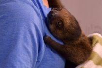 Baby sloth visits Tecumseh Mall